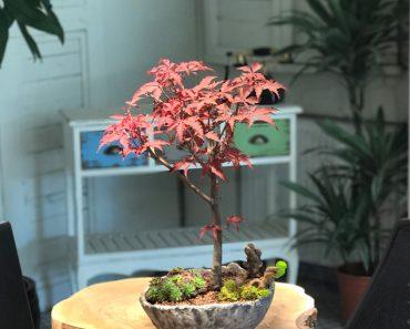 açer palmatum bonsai