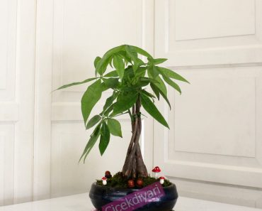 pachira bonsai