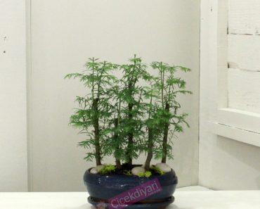 larex bonsai