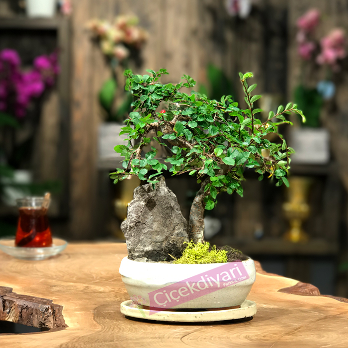 bonsai-agac-1