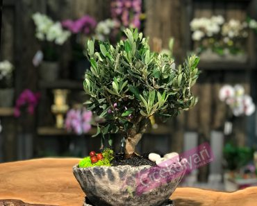 bonsai-zeytin-agaci