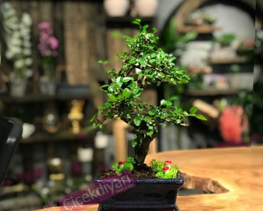 bonsai-agaci