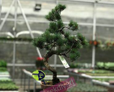 pinus-bonsai