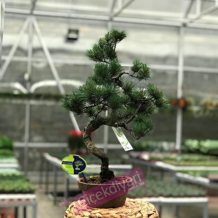 pinus-bonsai