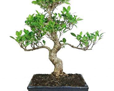 banyan-agaci