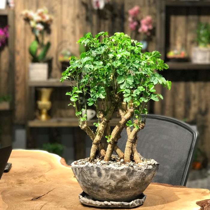 kurumus-bonsai