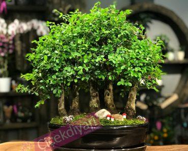 kuruyan-bonsai