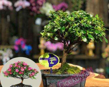 bonsai-iyi-bir-hediye-olur-mu