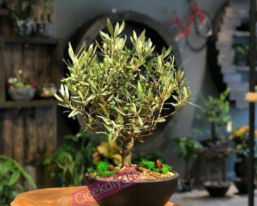 bonsai-ne-kadar-surede-yetisir