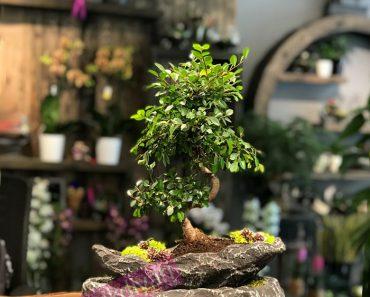 dekoratif-bonsai-agaci