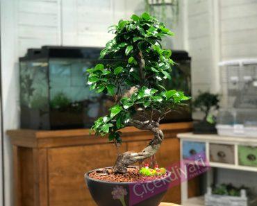 ginseng-bonsai-bakimi