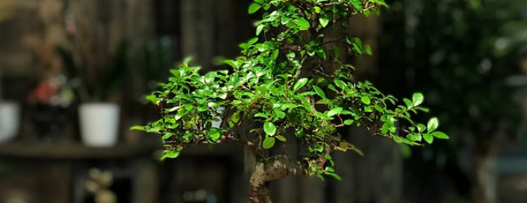zelkova-bonsai-bakimi
