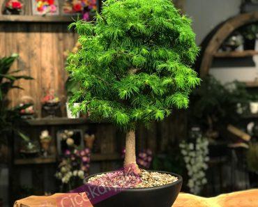 bonsai-agaci-ekimi-ve-bakimi