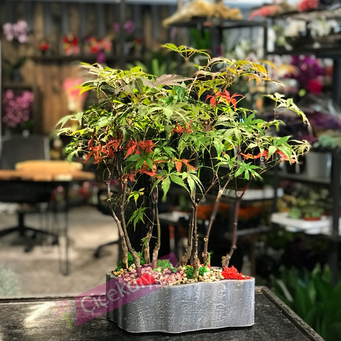 bonsai-agaci-kac-yil-yasar