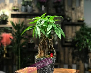bonsai-agaci-hastaliklari-nelerdir