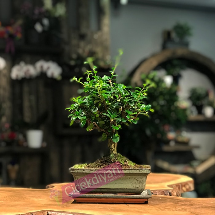 kocaya-bonsai-agaci