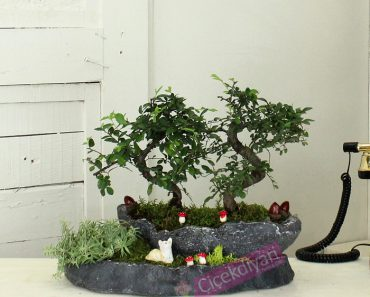 arkadasa-bonsai-agaci