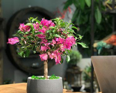 begonvil-bonsai-agaci
