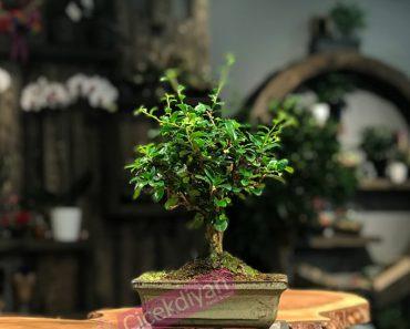 bonsai-agaci-yetistirmenin-incelikleri