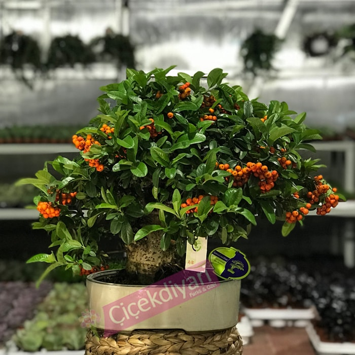 cafe-dekorasyonunda-bonsai-agaci