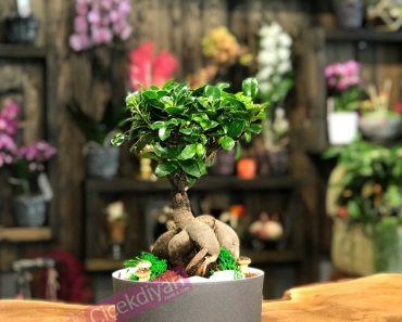 ev-arkadasina-bonsai-agaci