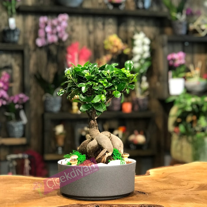 ev-arkadasina-bonsai-agaci