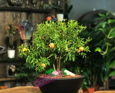 nar-bonsai-agaci
