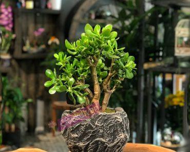 ogretmene-ozel-bonsai-agaci