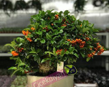 pyracantha-bonsai-kime-alinir