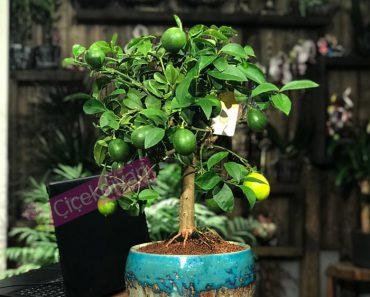 limon-bonsai
