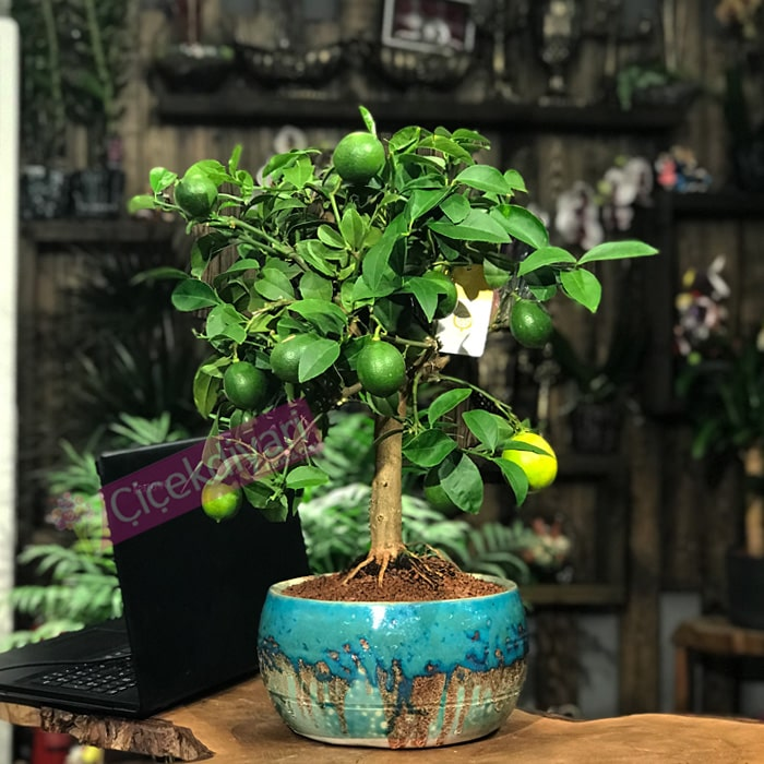 limon-bonsai
