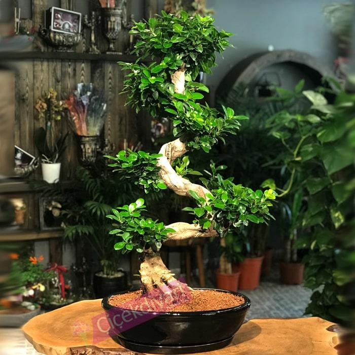 ginsengbonsai-90cmbonsai-ciceksepeti-cicekyolla-bonsaisiparis-resim-min
