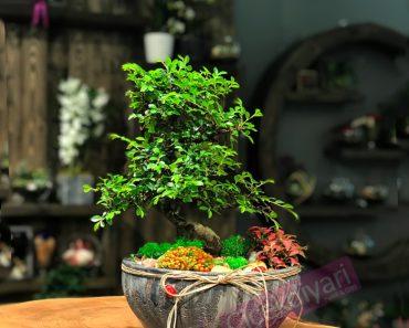 zelkovabonsai-nertera-phitonia-bonsaitasarim-bonsaisiparis-ciceksepeti-cicekyolla-bloomandfresh-resim-min