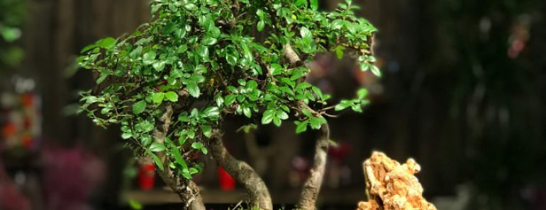 bonsai-agaci-faydasi