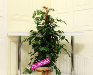 benjamin-bonsai-bakimi