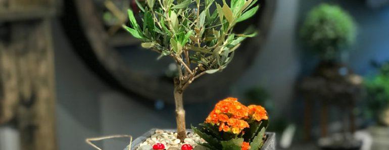 saksida-zeytin-agaci-fiyatlari