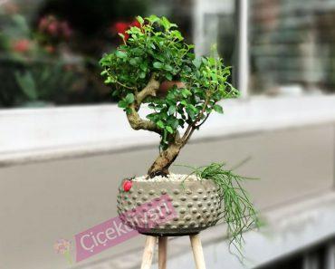 kurumus-bonsai-budama