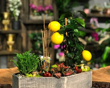 limon-agaci-hediye-etmek