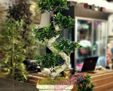en-hizli-buyuyen-bonsai