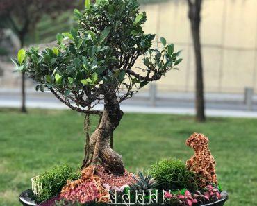 yeni-baslayanlar-icin-bonsai-agaci-secimi